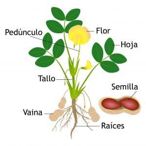 Grefusa PlantaCacahuete 300x300 - ¿De dónde salen los cacahuetes?