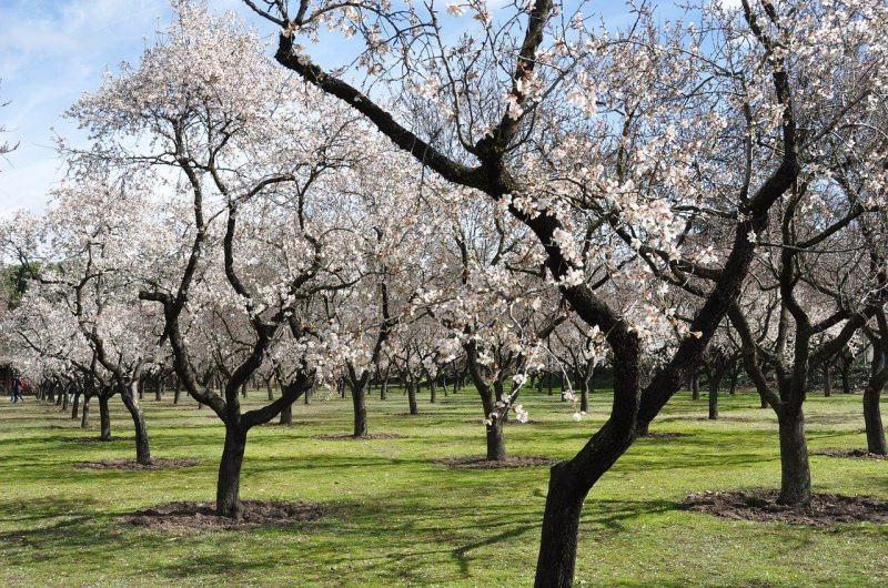 almond-trees-680725_1280 (2)
