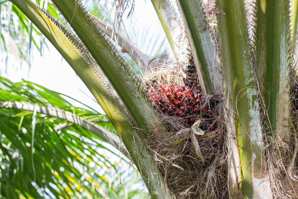 726 1024x683 - ¿Qué es el aceite de palma y para qué sirve?