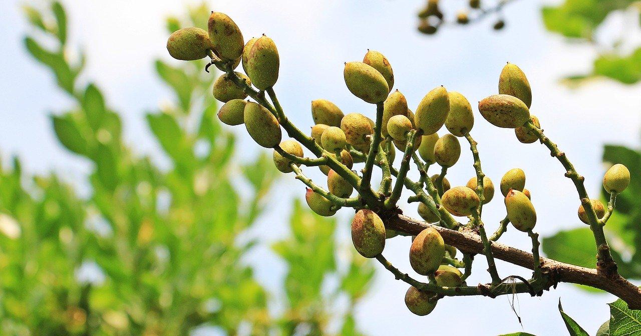 pistachios-1540134_1280